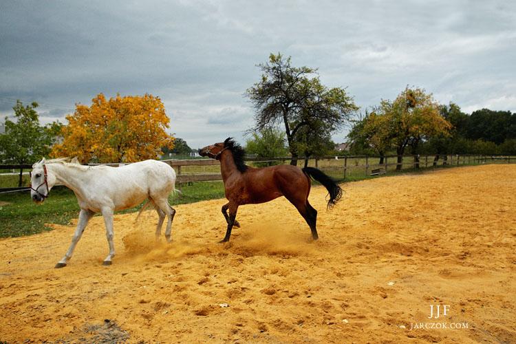 Podekscytowane wierzgające konie sfotografowane w stajni Mustang w Pszczynie.